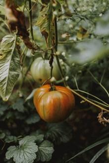 西红柿长树上精美图片