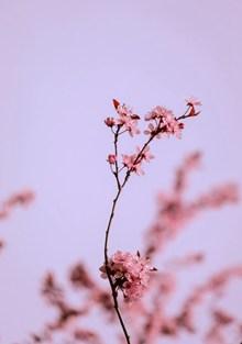 唯美粉色梅花花朵 唯美粉色梅花花朵大全高清图片