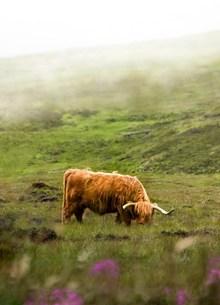 草原牦牛精美图片