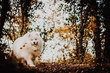 白色薩摩耶犬高清圖