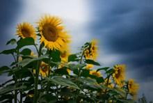 藍天向日葵壁紙高清高清圖片