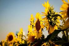 阳光向日葵唯美高清图片