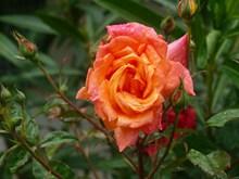 雨后鲜艳玫瑰花朵图片素材