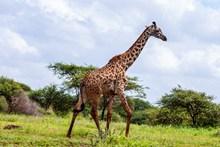 高大的長頸鹿精美圖片