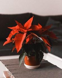 盆栽一品紅精美圖片