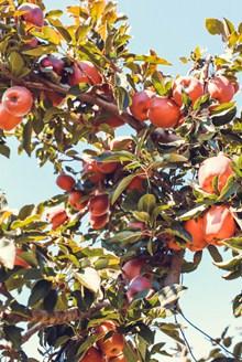 成熟丰收苹果树高清图片