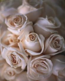 白色壁纸玫瑰花精美图片