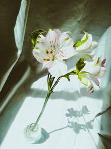 单支白百合花图片
