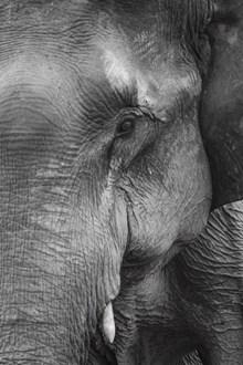 大象局部特写图片素材