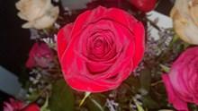 红色玫瑰花素材图片素材