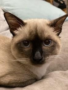 可爱纯种暹罗猫图片素材