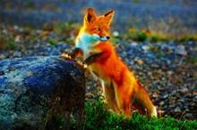 野生红狐狸摄影图高清图片