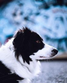 边境牧羊犬宠物写真图片下载