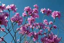 杜鹃花枝花朵图片下载