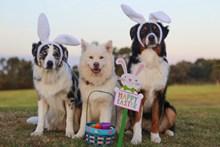 澳大利亚牧羊犬可爱图片