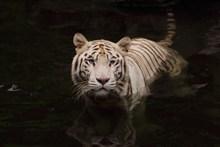 白色小老虎精美图片