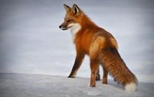 行走的小狐狸图片素材