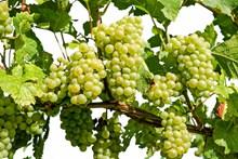 丰收绿色葡萄高清图片