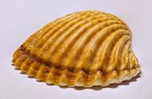 漂亮纹理贝壳高清图