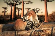 两只狐猴猫鼬图片素材
