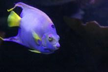 水族馆紫色鱼精美图片