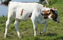 一只白色小奶牛高清图