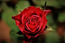爱情玫瑰花朵图片下载