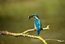 蓝色翠鸟捕鱼图片下载