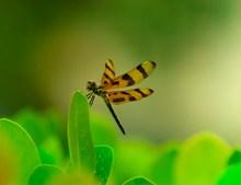 栖息的蜻蜓高清图片
