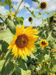 盛开的向日葵花精美图片
