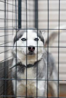 笼中的西伯利亚雪橇犬精美图片
