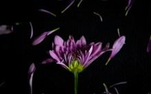 黑色背景下的紫色花朵图片