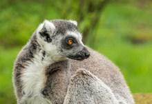 灰色的狐猴精美图片