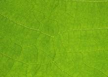绿色树叶叶茎纹理特写高清图