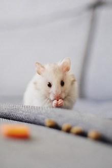 可爱小白鼠高清图