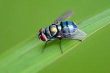 绿色苍蝇图片下载