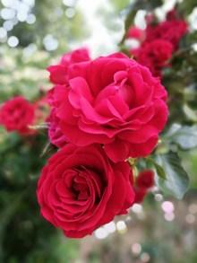 绽放灿烂红玫瑰图片