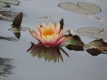 水上莲花高清图片