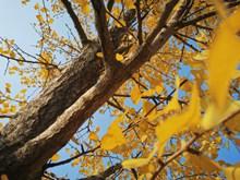 唯美银杏树叶子 秋天银杏树大全高清图片