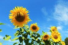蓝天白云下的向日葵图片大全