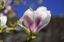 微距木兰花花朵高清图片