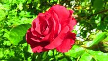 红色鲜艳玫瑰花花朵 红色鲜艳玫瑰花花朵大全高清图片