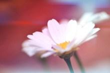 唯美白色菊花 唯美白色菊花大全高清图片
