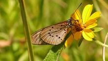 黑点斑蛱蝶高清图片