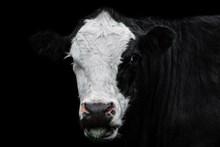 黑白花奶牛 黑白花奶牛大全图片下载