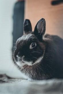 黑色毛绒绒兔子 黑色毛绒绒兔子大全图片下载