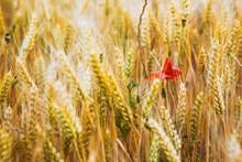成熟金色麦穗唯美图片下载