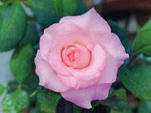 唯美玫瑰花朵意境 唯美玫瑰花朵意境大全图片大全