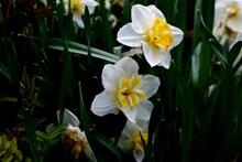 水仙花新鲜花朵 水仙花新鲜花朵大全图片下载