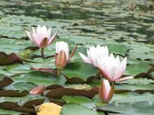 池塘莲花欣赏高清图